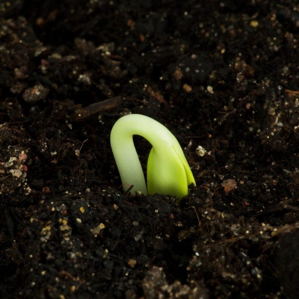 Tender Seedling